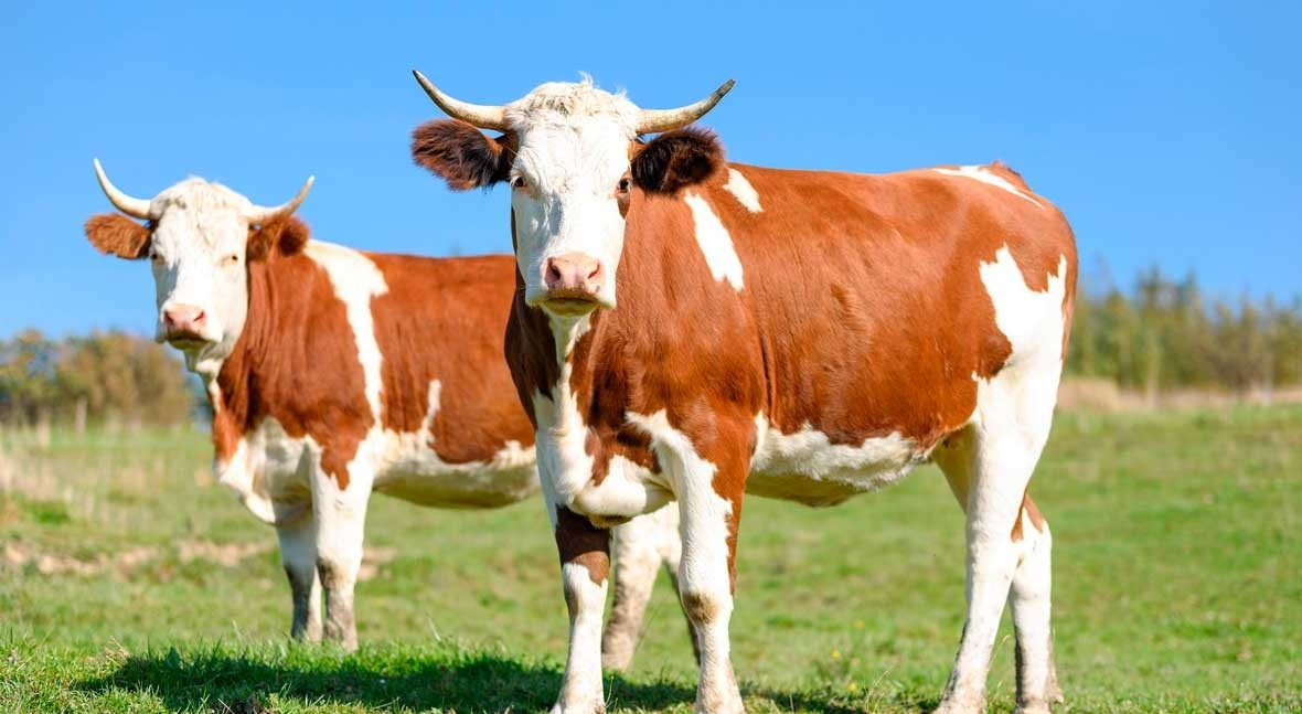 Beef production linked to water scarcity in the western United States