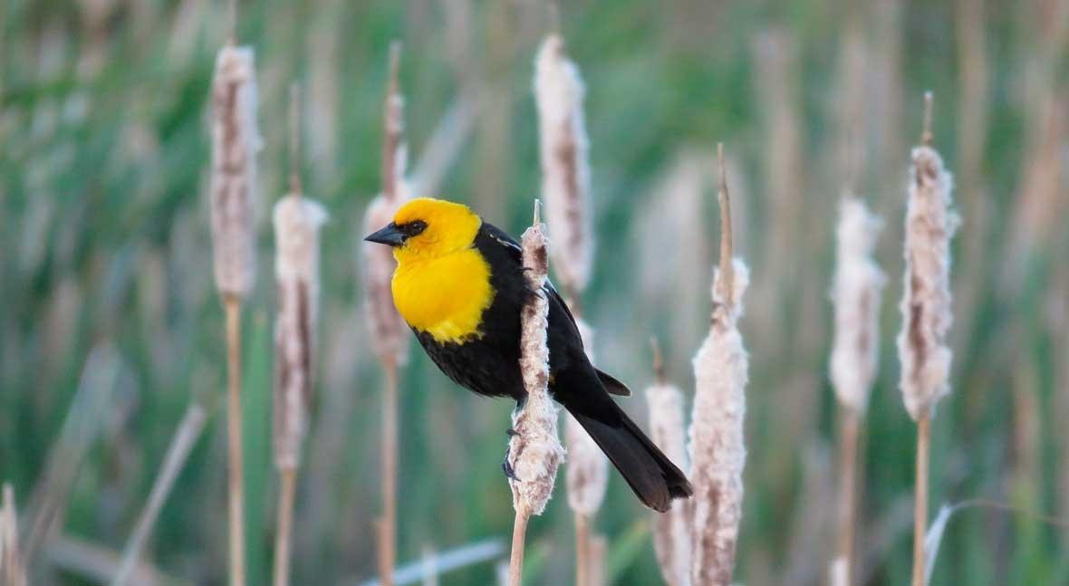 Warmer, wetter climate benefits some birds as wetlands vanish