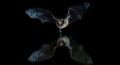 Could bats guide humans to clean drinking water in places where it's scarce?