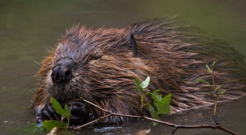 Beavers are set to recolonise the UK – here's how people and the environment could benefit
