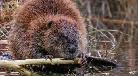 Beavers introduced to support water management