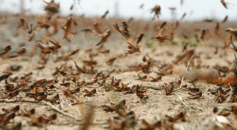 Brown locusts have survived long drought in South Africa – here's how