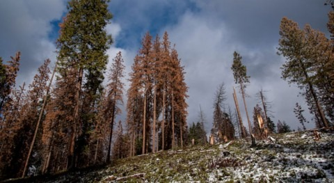California forest die-off caused by depletion of deep-soil water