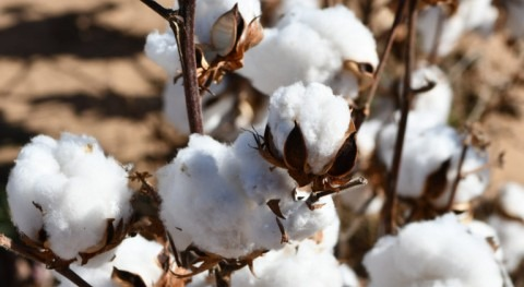 Cotton key player in water conservation in northern High Plains, US