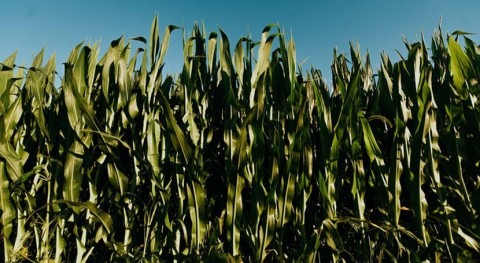 Irrigation management key for bioenergy production to mitigate climate change