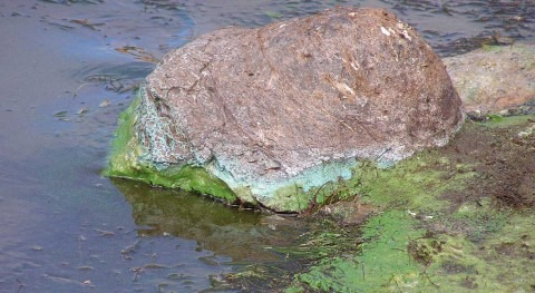 Cyanobacteria with the potential to produce toxins common in large U.S. rivers