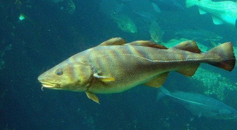 How is climate change affecting fishes? There are clues inside their ears