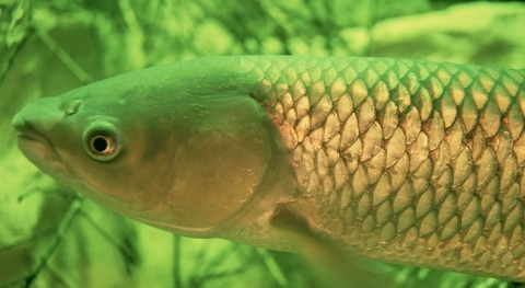Canada releases socio-economic study on the risk of Grass Carp to the Great Lakes