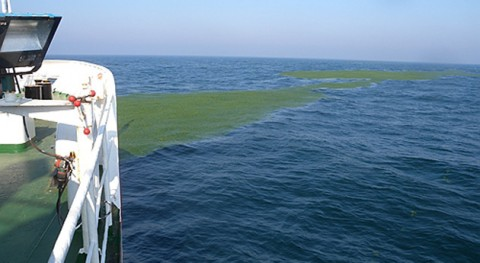 Scientists reveal long-term cumulative effects of frequent green tides in coastal oceans