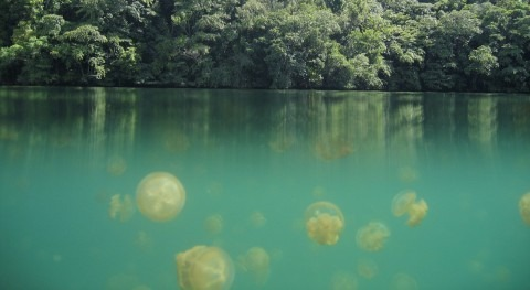 The Jellyfish Lake: 'gelatinous' experience
