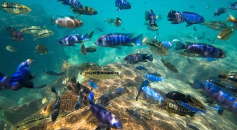 Lake Malawi is home to unique fish species. Nearly 10% are endangered