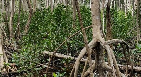 Trapped saltwater caused mangrove death after hurricane Irma, NASA data show