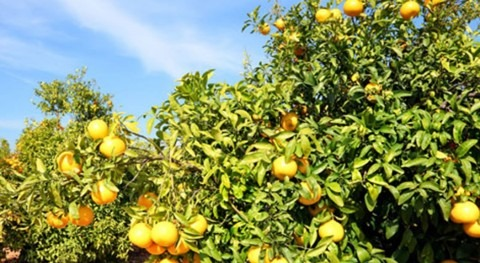 Solar-powered irrigation for citrus trees in Morocco