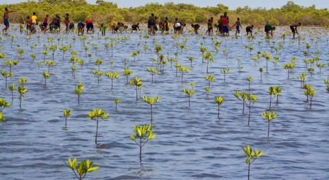 Social and environmental impacts of mangrove restoration project in Senegal