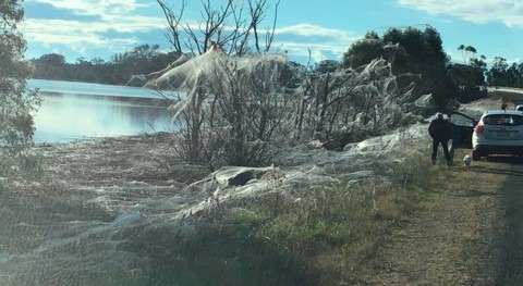 Spiders are cloaking Gippsland with stunning webs after the floods. An expert explainswhy