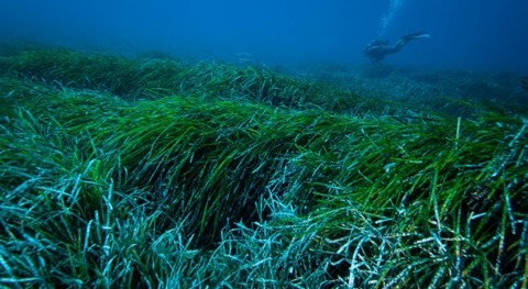 Posidonia marine seagrass can catch and remove plastics from the sea
