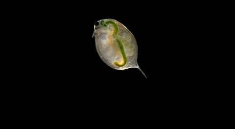 Researchers develop early warning system for water pollution using tiny water fleas