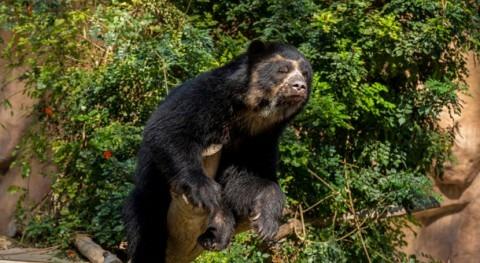 New study highlights importance of water resources for Andean bears