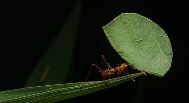 Leafcutter ants emit as much N2O as wastewater treatment tanks