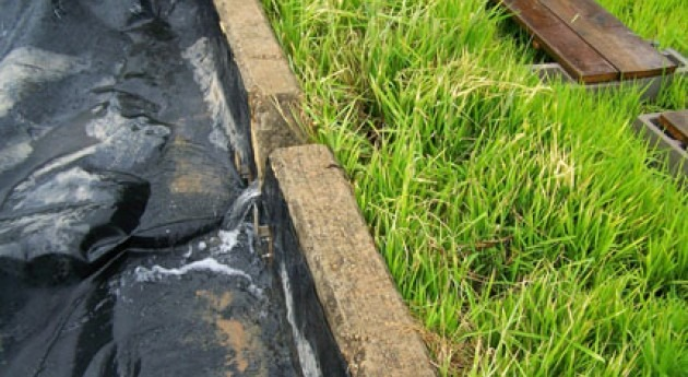 Rice could be used to clean runoff water