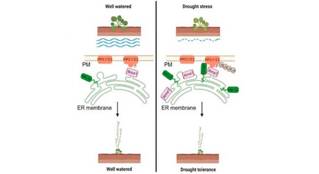 Researchers reveal how UBC32-Rma1 complex increases drought stress tolerance in plants