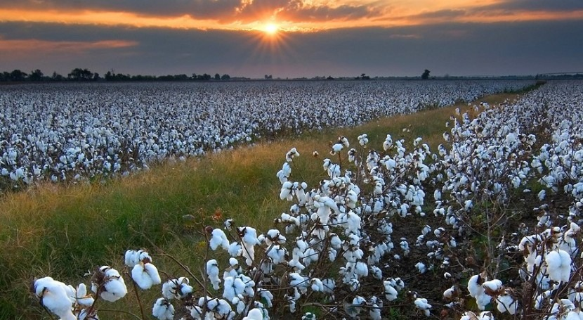 Clean, secure water supplies...or cotton production?