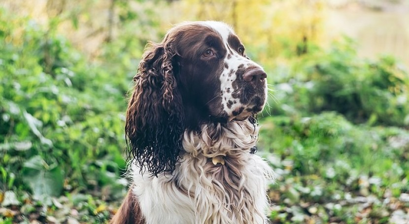 Springer spanials helping Yorkshire Water with water leak detection