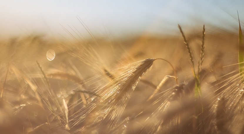 Argentina first in the world to use gene-edited wheat