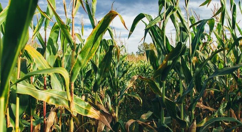 Cleaner water through corn