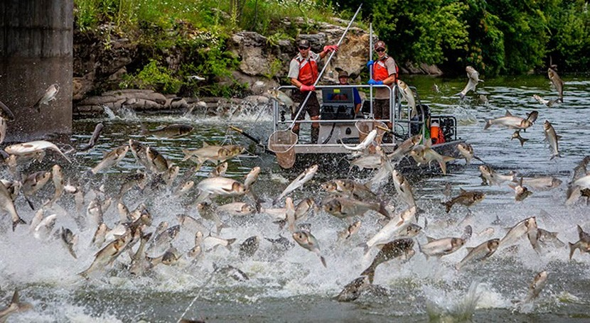 Chicago water pollution may be keeping invasive silver carp out of Great Lakes, study says