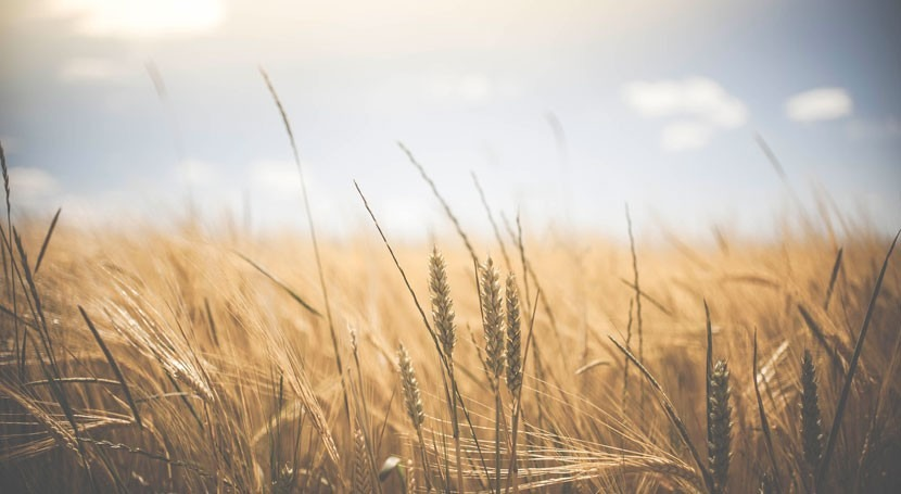 Up to 60% of wheat-growing areas worldwide could see severe droughts by the end of the century